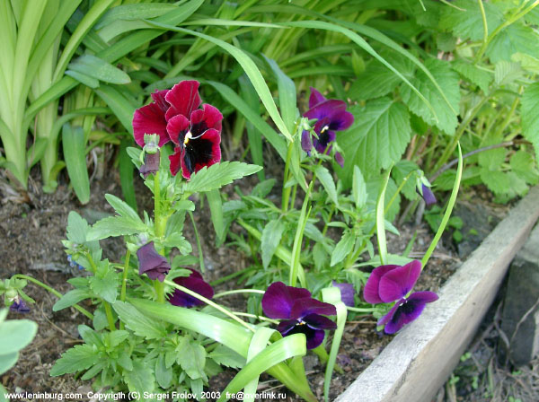 A pansy